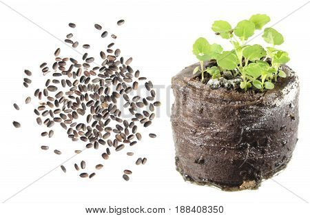 Seeds and seedling of Mexican giant hyssop (Agastache mexicana) isolated on white background
