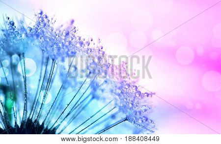 Abstract background with dandelion blowing in dew drops closeup image toned photo