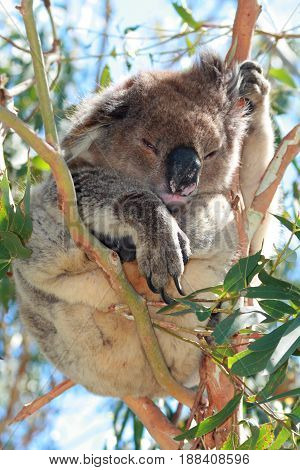 Koala Bear lounging peacefully in the eucalyptus trees on Cape Otway in Victoria Australia