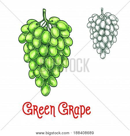 Green grape fruit sketch. Vector isolated icon of fresh grapes berries cluster. Sweet juicy grape bunch symbol for jam and juice, raisins product label or grocery store, shop and farm market design
