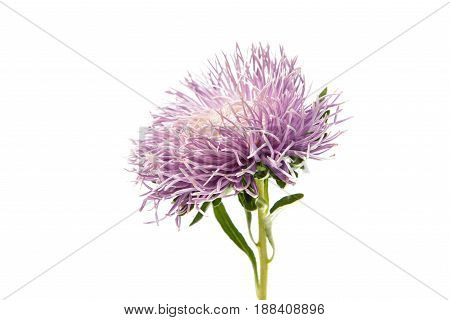 Blossoming Colorful Aster flower on white background