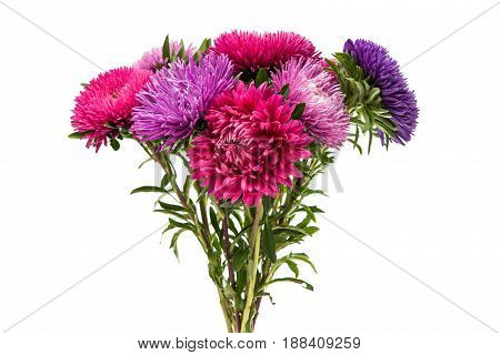 colorful pink Aster flower on white background