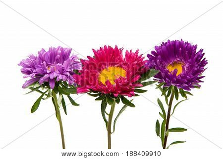 Aster colorful pink flower on white background