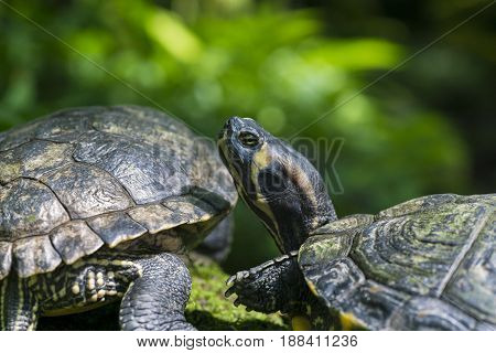 View on two Turtles. Red Eared Terrapin. Close-up of relaxed Turtles in Sunlight. Trachemys scripta Elegans. Red Eared Sliders.