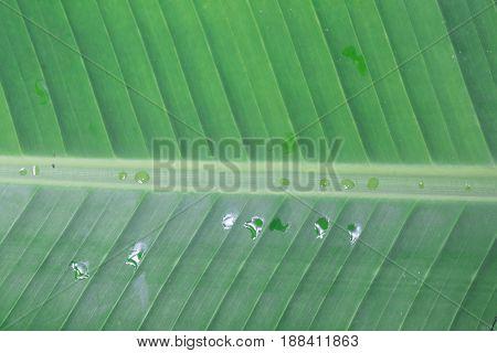 the beautiful Green fresh banana leaf background