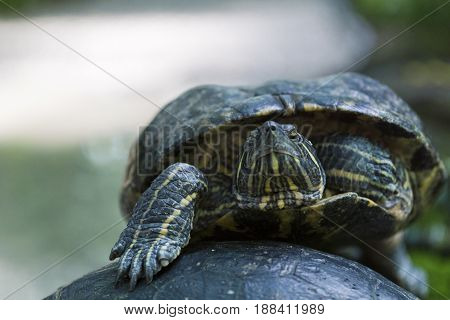 Portrait of a relaxed Turtle. Red Eared Terrapin. Close-up of a Turtle. Trachemys scripta Elegans. Red Eared Sliders