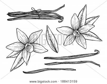 Vanilla pods and vanilla flower vector isolated on white background. Engraved vector illustration of different vanilla pods. Different vanilla. Vanilla mix illustration. Vector vanilla hand drawn sketch. Vanilla.