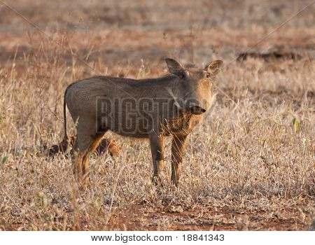Warthog piglet standing in dry grass in the late afternoon sun poster