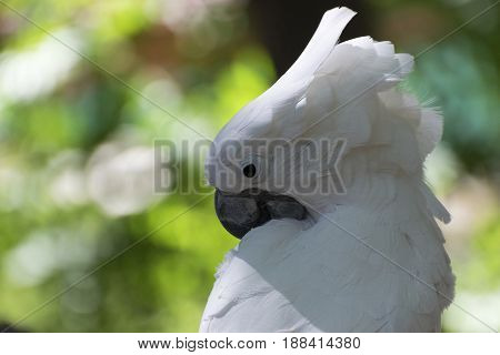 Closeup of a White Cockatoo bird as it uses its powerful black beak to clean its beautiful white feathers during preening with the blurry background colors adding contrast.
