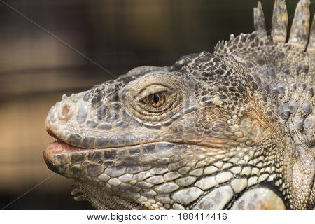 Closeup side profile of the head of a Green Iguana showing the vibrant yellow colors of its eye along wit the scales and spikes that give this ancient reptile its fearsome and intimidating look. poster