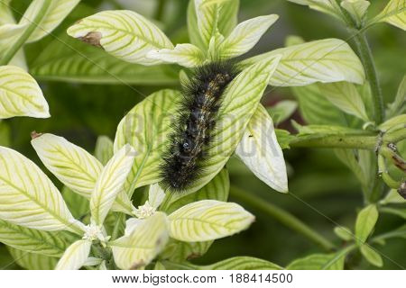 Fuzzy Salt Marsh Moth Caterpillar covered in clusters of spiky black hairs crawling across a bright green leaf on a sunny day. poster