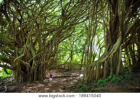 Male Tourist Admiring Giant Banyan Tree On Hawaii. Branches And Hanging Roots Of Giant Banyan Tree O