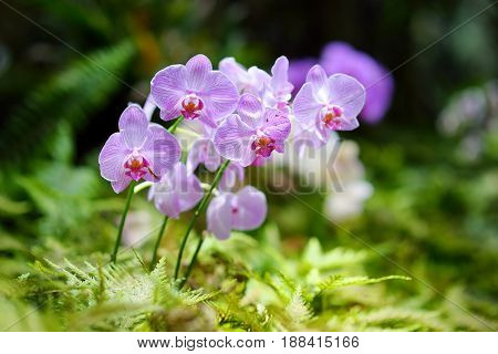 Beautiful Orchids In Natural Environment In Tropical Botanical Garden Of The Big Island Of Hawaii