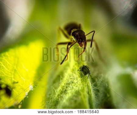 Brown Ant and little aphid on green leaf extreme macro photography