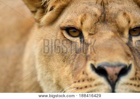 Close up portrait of a african Lion