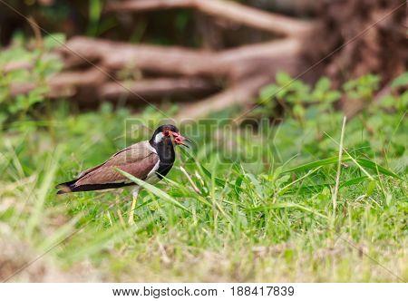 Red wattled Lapwing bird in the garden blurred background.