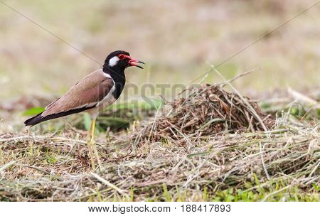 Red wattled Lapwing bird in the garden blurred background.