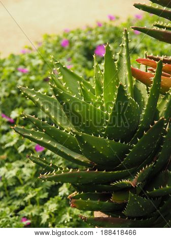 Close up shot of Aloe vera in a garden