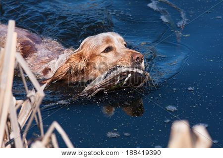 hunting dog swimming with hunting trophy - duck in the water