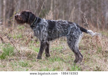 hunting dog german wirehaired pointer on the field