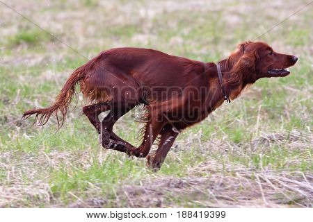 hunting dog setter running on the meadow in spring