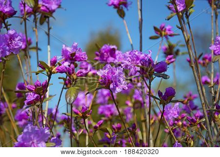 Spring lilac bush, rosemary on a sunny day with beautiful flowers. Botanical Garden