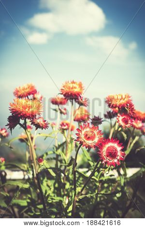 Beautiful bouquet of colorful dry straw flowers or everlasting over blue sky with clouds. Outdoor at the daytime on summer day with sunlight. (Helichrysum bracteatum). Vintage effect tone.