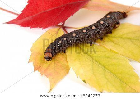 Big black caterpillar on colorful fall tree leaves  macro studio photo on white background