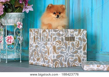 Pomeranian puppy standing in a gift box. Pet animal.