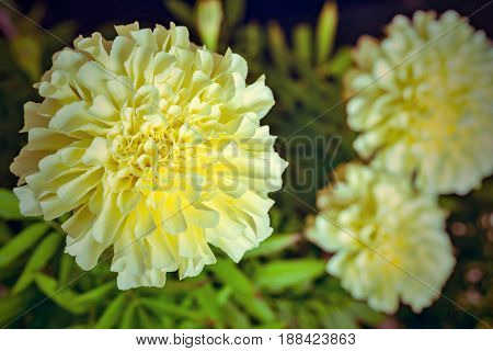 Flower Of Aster Closeup In Retro Style