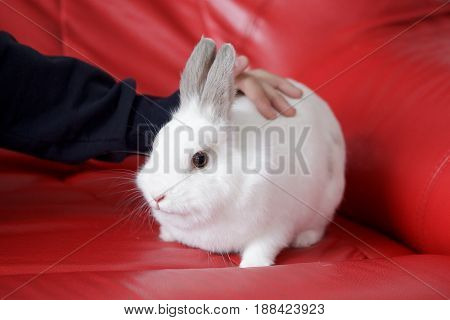 Man stroking a white rabbit sitting on a red couch. Pet animals.