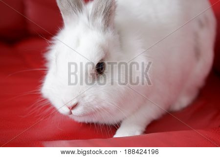 Fluffy white rabbit sitting on a red couch. Pet animal.