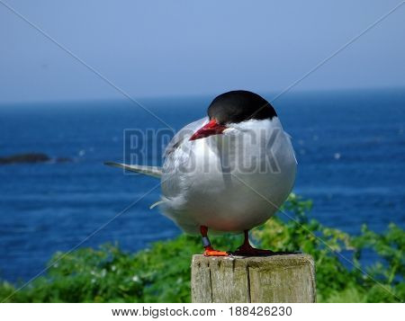 Arctic tern perched on a fence post, blue sea in background