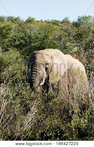Elephant Walking Between The Branches