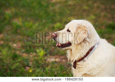the dog breed Golden retriever on a green grass