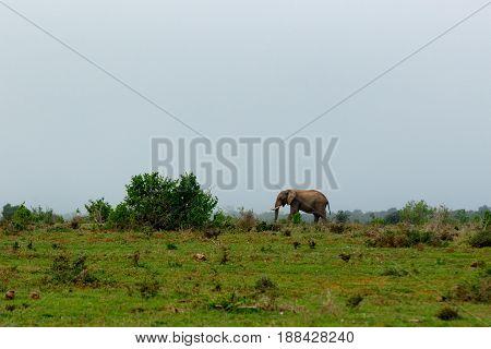 Elephant Walking To The Big Bushes