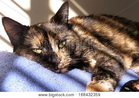 Puss among the shadows of a blind. Ginger and black face Tortoiseshell cat pet gazes with yellow eyes. Sleep on bed