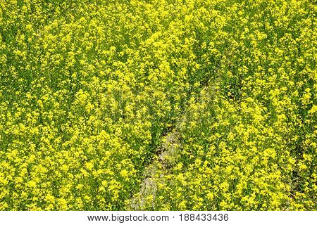 Field Of Barbarea Vulgaris Flower At Spring