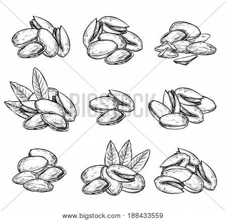 Pistachio vector isolated on white background. Engraved vector illustration of leaves and nuts of pistachio. Hand drawn pistachio nuts. Set of pistachio nuts. Vector pistachio composition. Simple pistachio illustration.
