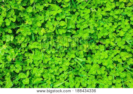 Closeup of green sunlit creeping grass leaves background texture