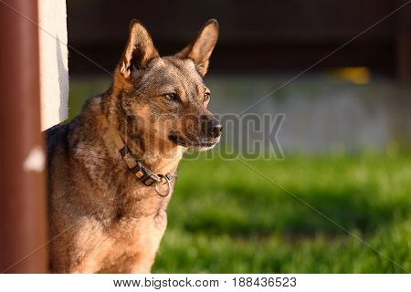 Dog focused on attack staring at it