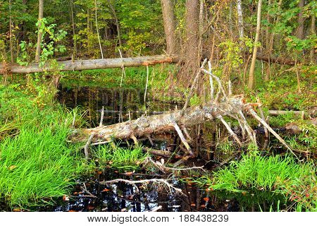 Swamp in forest at early autumn, Russia. Reserve the northern coast of the Neva Bay.