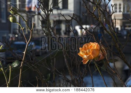 One orange rose among bare branches with houses as background