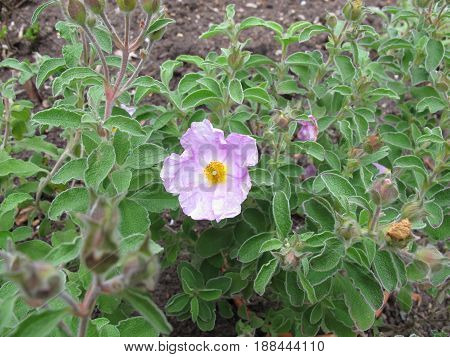 Flower of rock rose in summer, cistus incanus