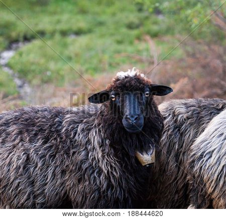 Black sheep with a bell on the neck looking at the camera. Flock of sheep. Carpathian mountains.