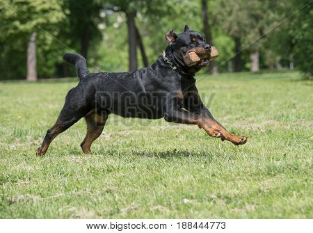 Rottweiler running on the grass.Selective focus on the dog