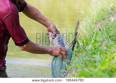 close-up asian fisherman holding Tilapia fish into the green net