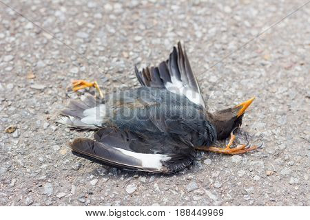 Dead black bird on the road because car crash in Thailand shallow depth of field