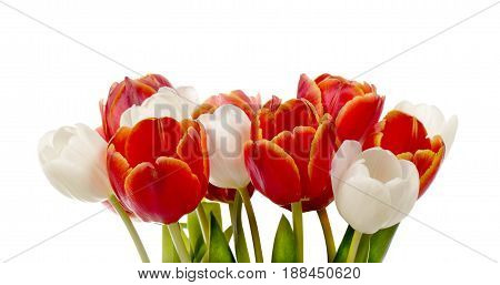 Bouquet of white and red tulips isolated on white background