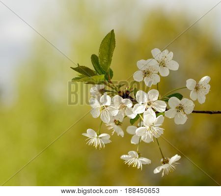 White flowers blossoming on a cherry tree